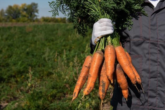 Rolnik ręce w rękawiczkach trzymający pęczek marchwi w koncepcji zbiorów w ogrodzie zbliżenie