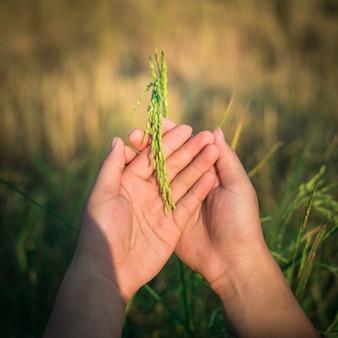 Rolnik ręka delikatnie trzyma ryż z światłem słonecznym w irlandczyka polu, rolnictwo