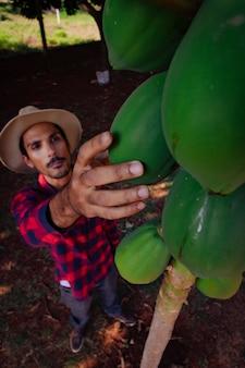 Rolnik robotnik analizujący owoce papai. plantacja papai unowocześniła rolnictwo we wnętrzu brazylii. miejsce na tekst.