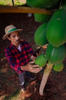 Rolnik robotnik analizujący owoce papai z tabletu mobilnego. plantacja papai unowocześniła rolnictwo we wnętrzu brazylii. miejsce na tekst.
