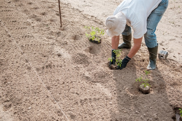 Rolnik sadzenia sadzonki pomidorów w polu