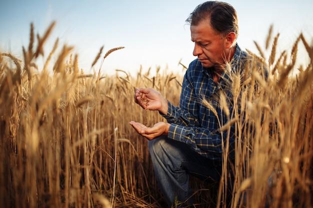 Rolnik siedzi na środku pola pszenicy złotej i sprawdza jakość ziaren.