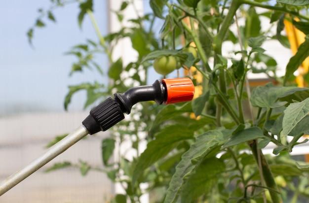 Rolnik spryskuje ogórki pestycydami w szklarni. ochrona warzyw przed owadami.