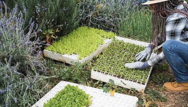 Rolnik starszy pracownik przygotowuje sadzonki w pudełku z glebą wewnątrz gospodarstwa warzywnego