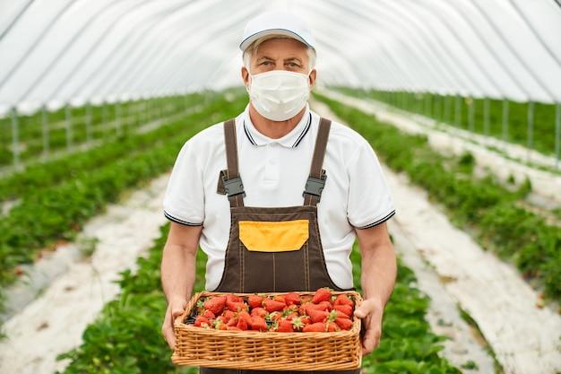 Rolnik stojący w szklarni z koszem truskawkowym
