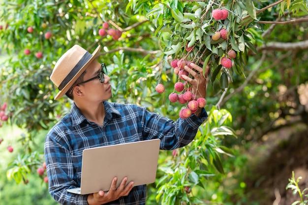 Rolnik trzyma klapkę paznokcia, aby sprawdzić liczi w ogrodzie.