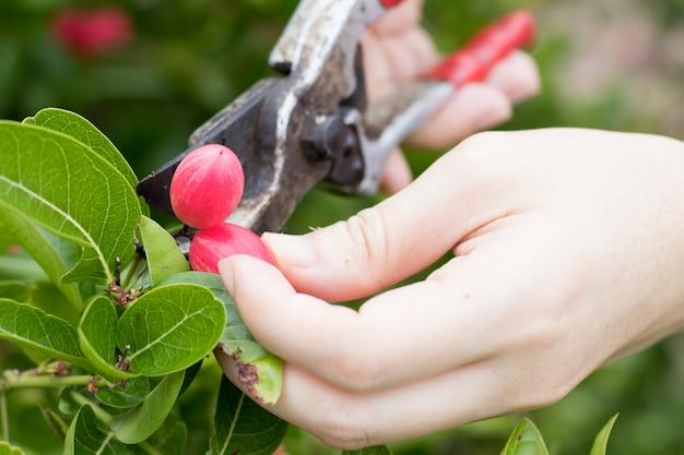 Rolnik trzyma nożyczkę do cięcia świeżej porzeczki bengalskiej (cierń chrystusa) z ich gałęzi
