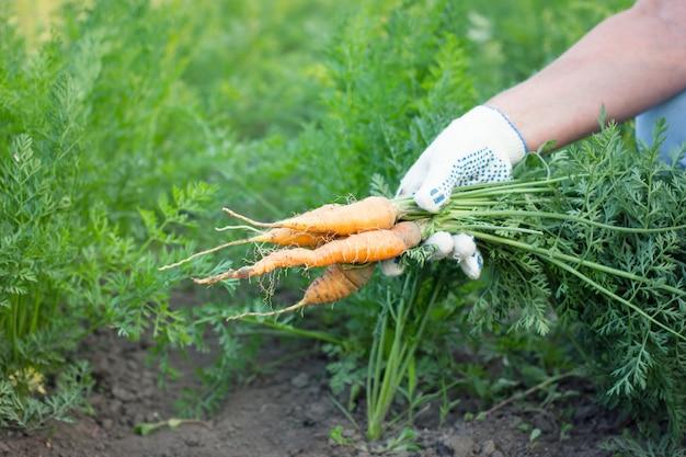 Rolnik trzyma świeże marchewki, zbiera, uprawia ziemię pojęcie