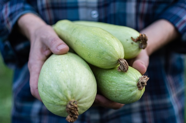 Rolnik trzyma w rękach świeży plon cukinii, ekologiczne warzywa z ogrodu