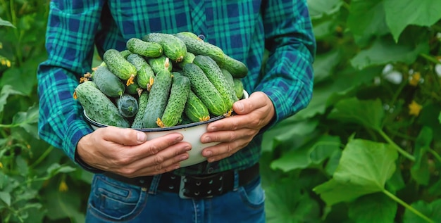 Rolnik trzyma w rękach zbiory ogórków