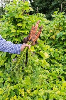Rolnik trzymający świeżą ekologiczną kiść marchwi i buraków z blatami, młode surowe warzywa z grządki ogrodowej