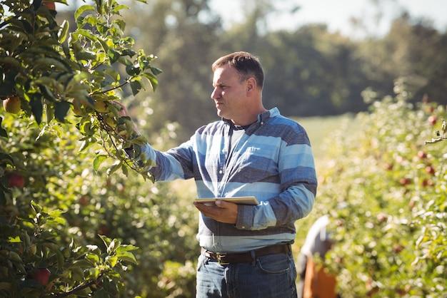 Rolnik używa cyfrową pastylkę podczas gdy sprawdzający jabłoni w jabłczanym sadzie