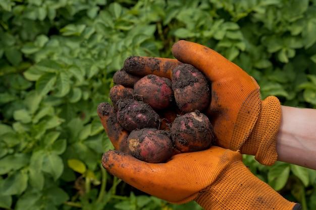 Rolnik w pomarańczowych rękawiczkach zbiera ziemniaki.