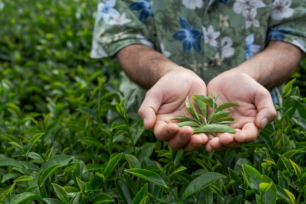 Rolnik z brodą sprawdza herbatę na farmie.