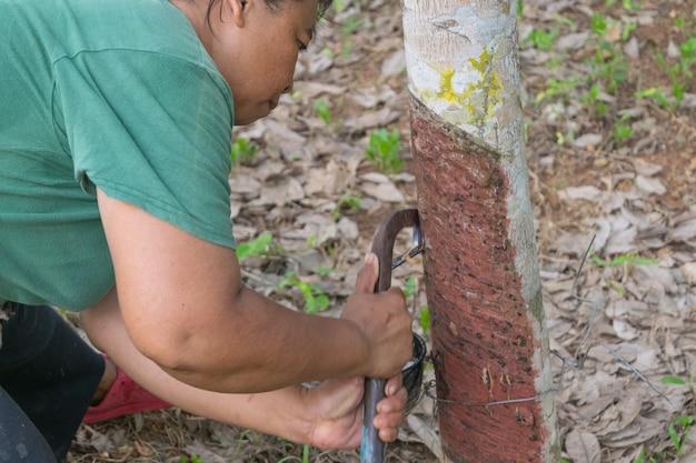Rolnik zbiera kapanie naturalnego lateksu