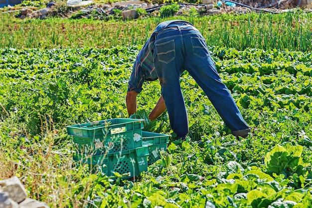 Rolnik zbiera kapusty warzywnej na swoim polu do skrzynek