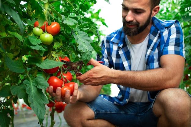Rolnik zbiera świeże dojrzałe pomidory na sprzedaż na rynku