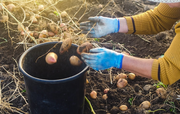 Rolnik zbiera ziemniaki w wiadrze. praca w polu gospodarczym. zbieraj, sortuj i pakuj warzywa