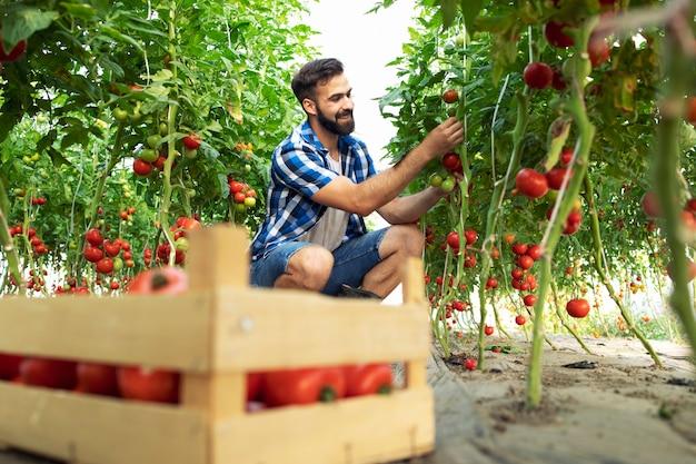 Rolnik zbierając świeże dojrzałe pomidory i wkładając do drewnianej skrzyni