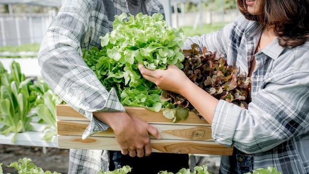 Rolnik zbierający ekologiczną sałatę warzywną z upraw hydroponicznych