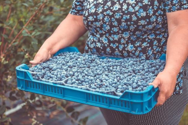 Rolnik zbierający lub zbierający świeże jagody ze swojej ogromnej farmy jagodowej, koncepcja żywności