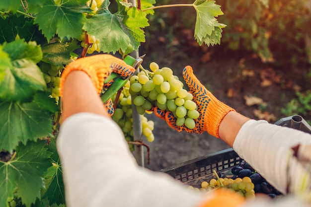Rolnik zbierający plony winogron w gospodarstwie ekologicznym. kobieta tnie zielone winogrona stołowe z sekatorem