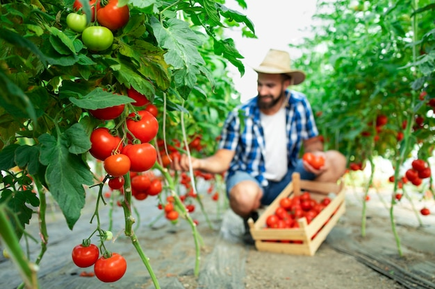 Rolnik zbieranie świeżych dojrzałych pomidorów i wkładanie do drewnianej skrzyni