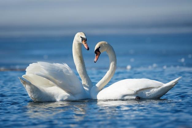 Romantyczna para łabędzi na jeziorze