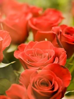 Romantyczne kwitnące róże z bliska