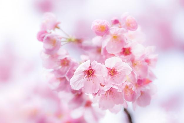 Romantyczny kwiat wiśni, sakura w okresie wiosennym