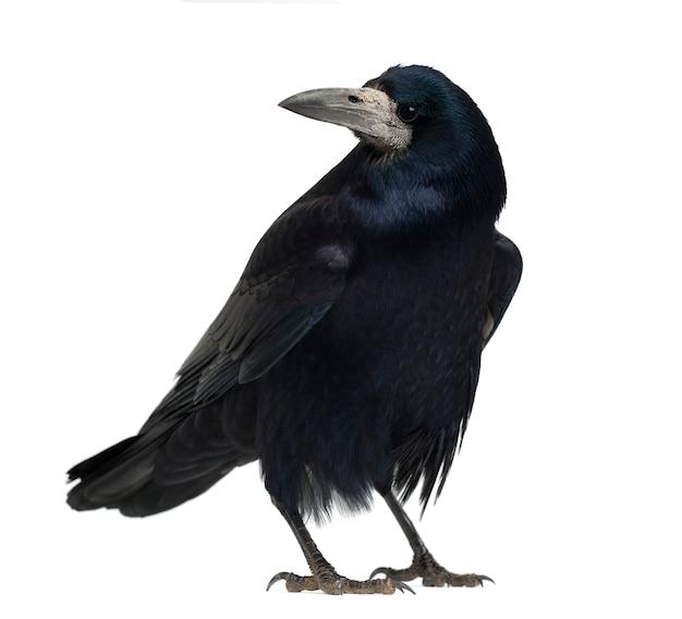 Rook corvus frugilegus stojący na białym tle