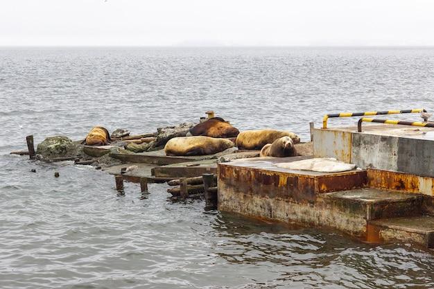 Rookery redbook lwów morskich w mieście pietropawłowsk kamczacki