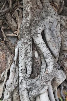 Root drzewa wieku