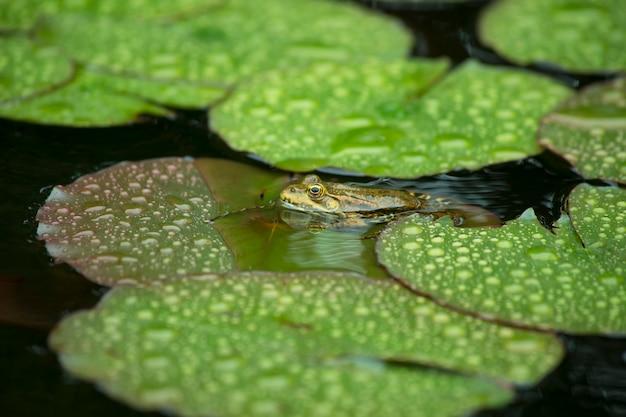 Ropucha siedzi na lilii wodnej w deszczu