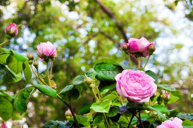 Rosa centifolia (rose des peintres) kwiaty w letnim ogrodzie