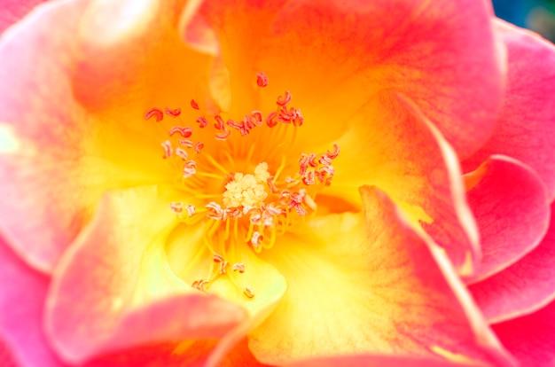 """Rosa """"płaszcz józefa"""". ogród botaniczny iturraran. gipuzkoa, kraj basków, hiszpania"""