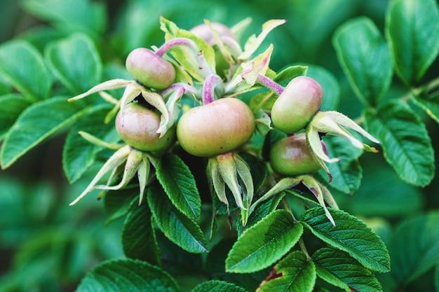 Rosa rugosa owoc na roślinie, zbliżenie zielonej róży