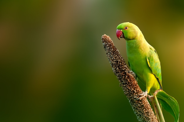 Rose papuga długoogonkowa jedzenie ziaren na rośliny prosa