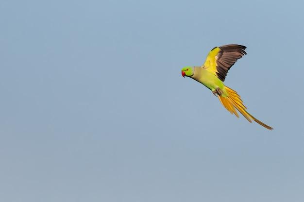 Rose papugi papugi latające przeciw błękitne niebo