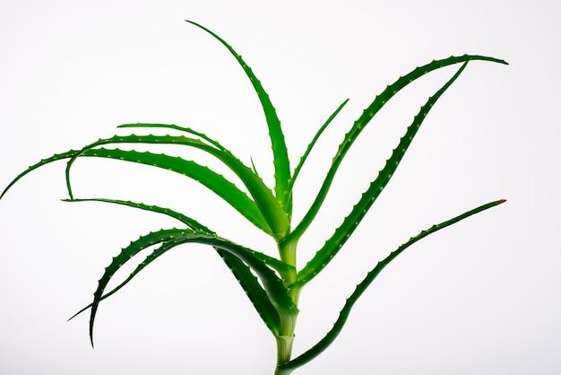 Roślin aloesu na białym tle. - obraz