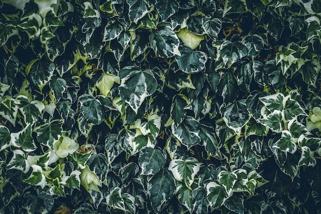 Roślin na ścianie. układ liści. może być używany jako tło tekstury
