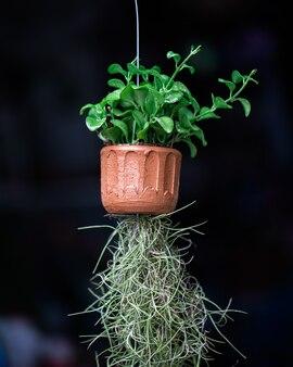 Roślin na wiszącej doniczce