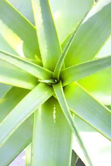 Roślina aloe vera z kolczastymi liśćmi