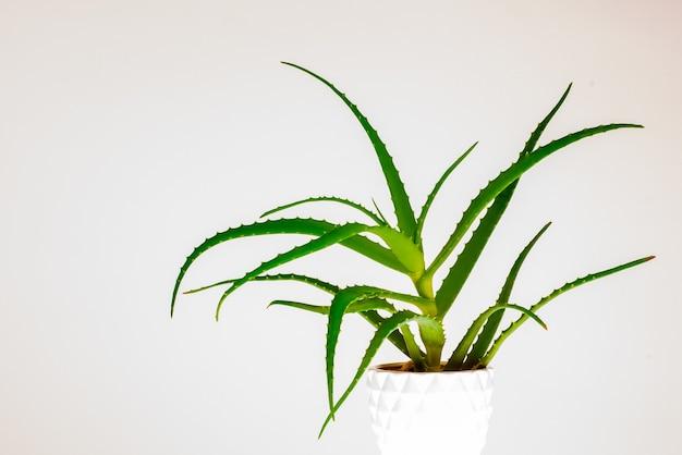 Roślina aloesu na białym tle.
