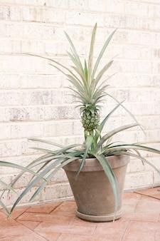 Roślina ananasa