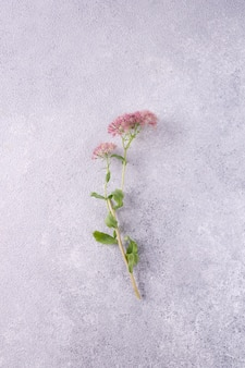 Roślina astrantia na szarym tle gipsowym