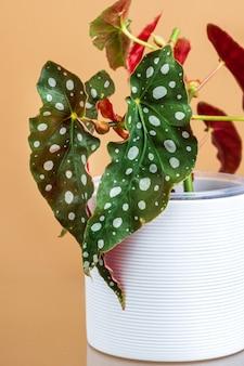 Roślina begonia maculata w białej doniczce do miejskiej dżungli