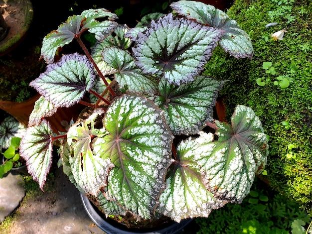 Roślina begonia rex w ogrodzie zwana również begonią malowaną liść i begonią fancyleaf