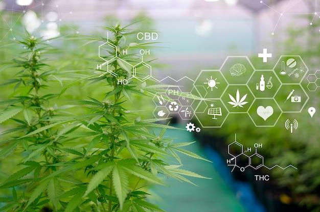 Roślina cannabis sativa rosnąca na farmie konopi, koncepcja medyczna i biologiczna