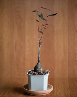 Roślina caudex posadzona w małej doniczce